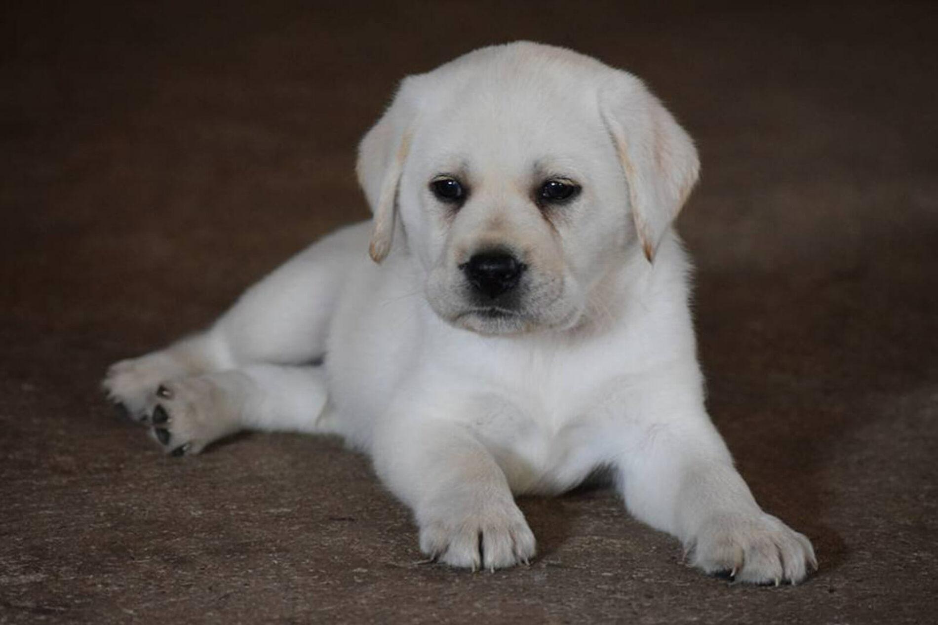 Labrador Opvang & Labrador Pups & Labrador Hondenvoer